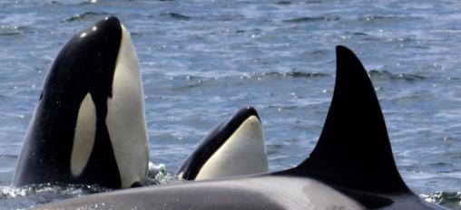 L'orca viandante